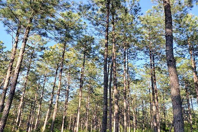 The Barr Chapel Road Woodland Features 23 Year Old Planted Loblolly Pine.