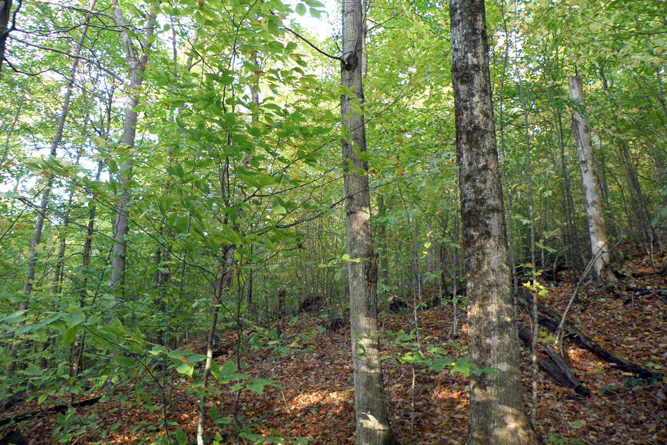 Hardwood Stand Near Legal Trail