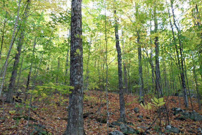 Sugar Maple Stand Along The Mid-Slope