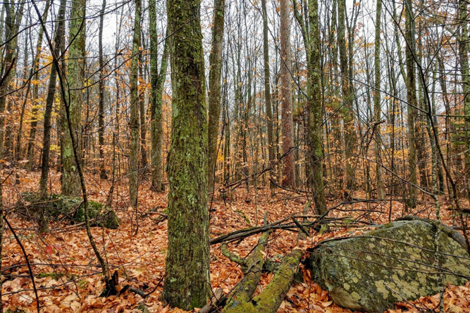 A Well-Managed Red Oak And Maple Woodlot