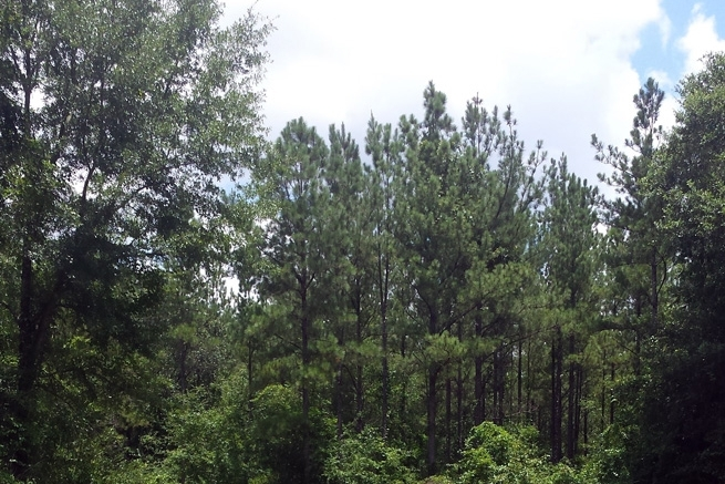Pine Plantation Developing Toward A Future Stand Of Sawtimber-Quality Trees