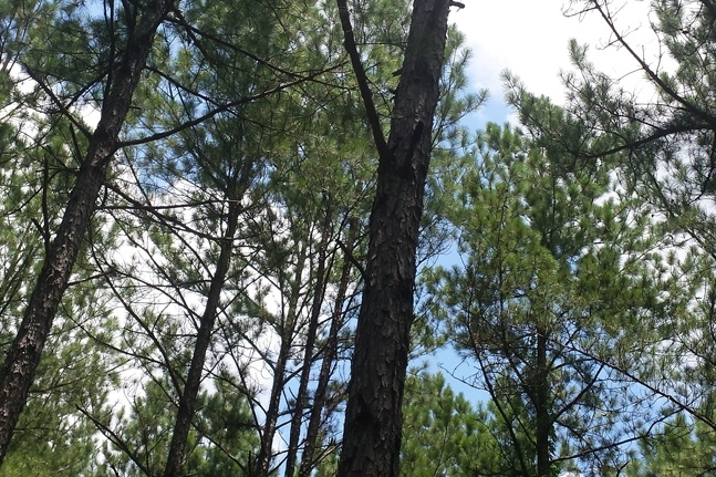 Woodland Canopy Provided By An 18-Year-Old Loblolly Pine Plantation