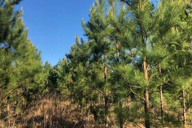 Loblolly Pine Timber