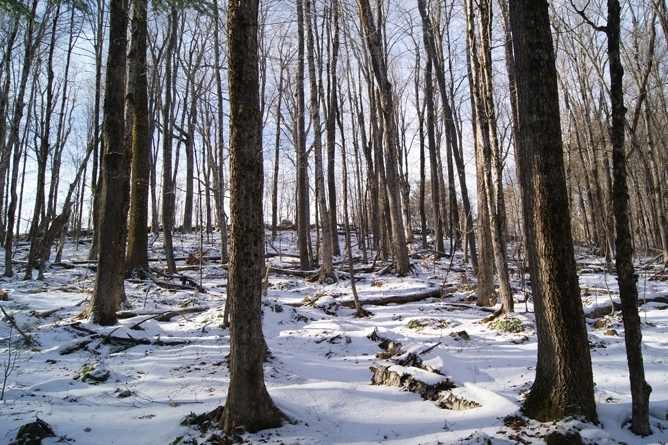 A Stand Of Mature Northern Hardwoods