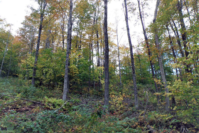 Thinned Maple Stand At Northern End Of The Property