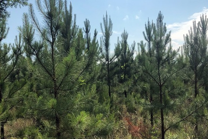 Five-Year-Old Pine Plantation