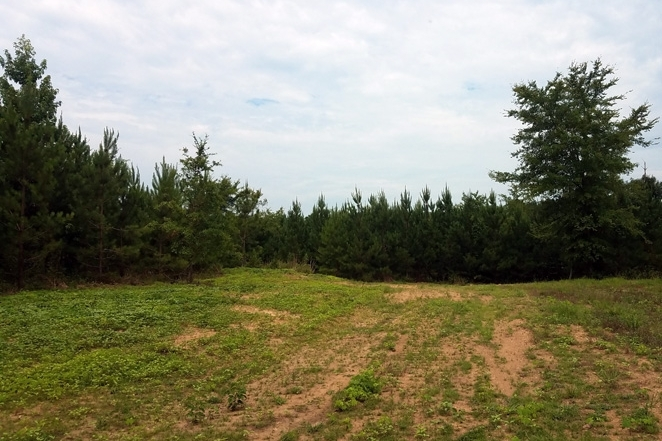 Food Plot Surrounded By Pine Timber