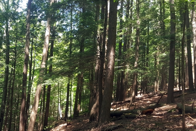 Dense Hemlocks And Pines On Western Slope