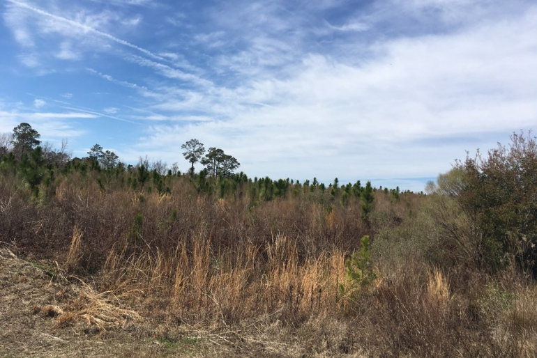 Longleaf Pine Planted In 2014 As Part Of The Conservation Reserve Program