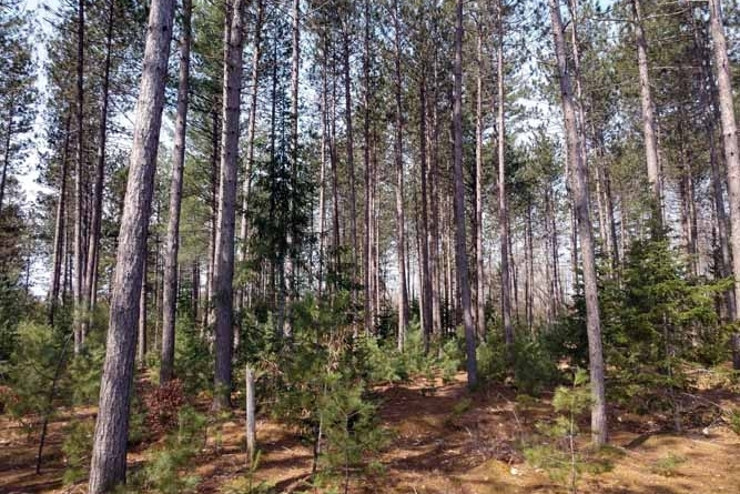 Attractive Pine Forests