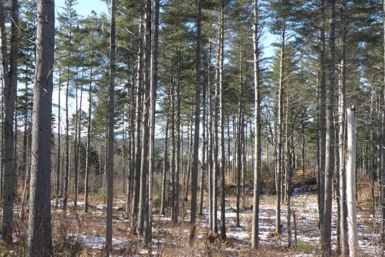 Thinned Pine Stand