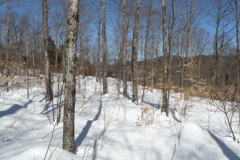 Upper Elevation Thinned Maple Stand
