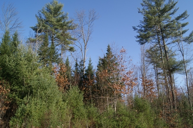 The Forest Is Comprised Of Young Pine, Oak And Northern Hardwoods.