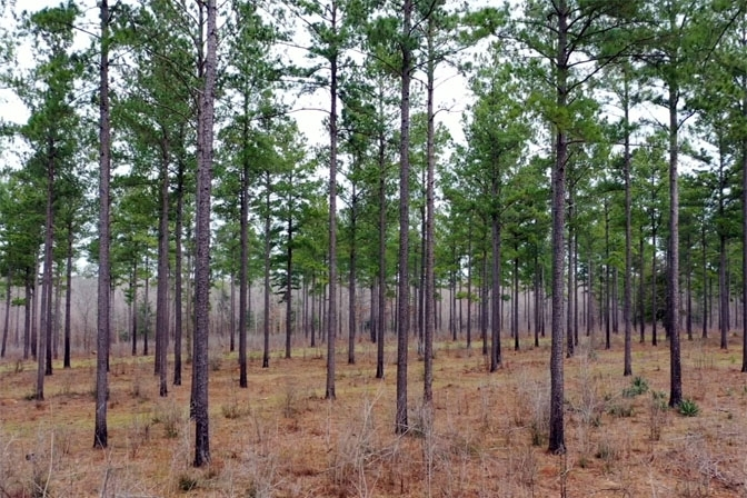 Loblolly Pine Plantation With Clean, Straight Stems As Far As The Eye Can See