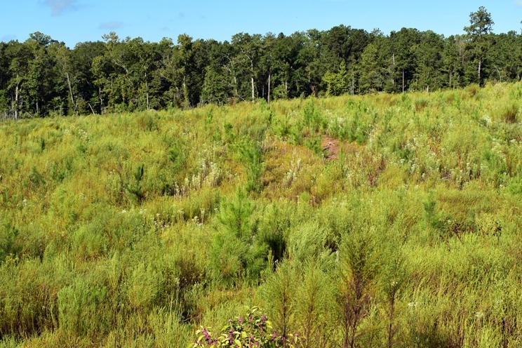 2-Year-Old Loblolly Pine Timber