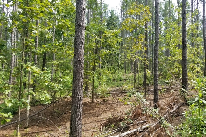 Recently Thinned Loblolly Plantation, Ready For Release Treatment