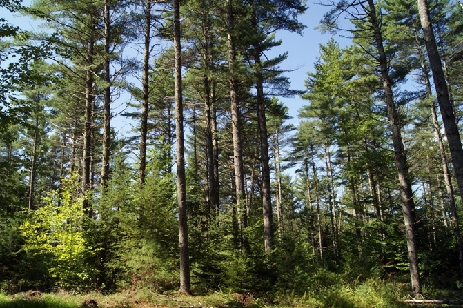 The Majority Of The Softwoods Are White Pine.