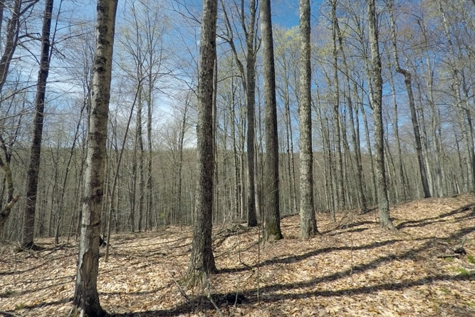 Hardwoods Include Maples, Birches And Beech