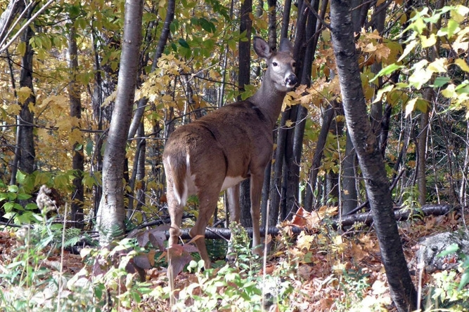 White-Tailed Deer Observed On The Property