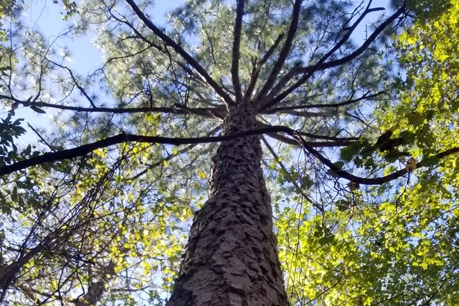 North Tract 100-Foot Loblolly Pine
