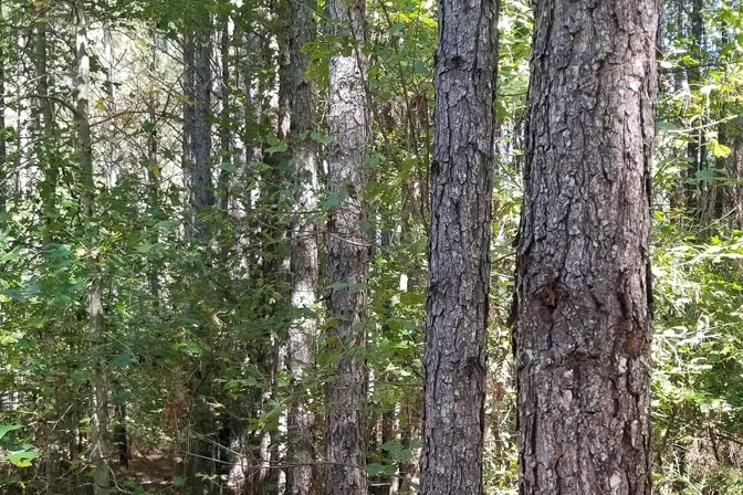 South Tract Pine Plantation Ready To Thin