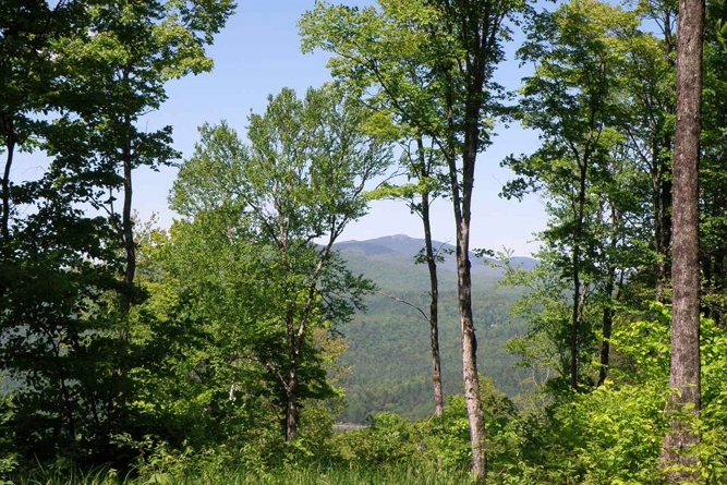 Thinned Hardwoods With View Of Camel's Hump