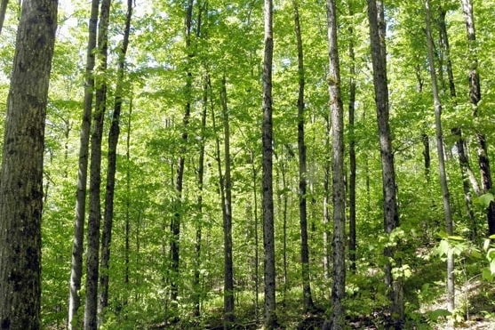 High Value Sugar Maple Forest